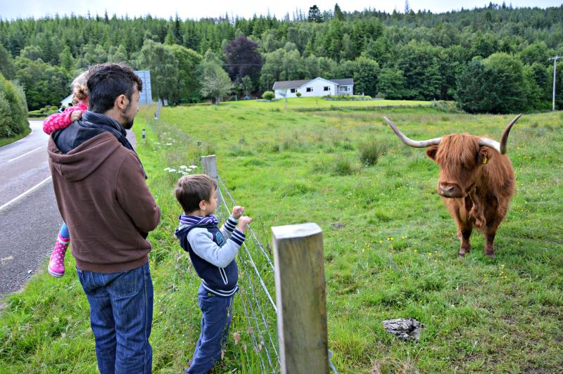 6.highland cow