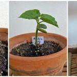Ciclo de vida de las plantas: Alubia – Plants life cycle: Bean
