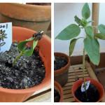 Ciclo de vida de las plantas: Girasol – Plant life cycle: Sunflower