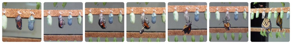 Mariposa emergiendo de la crisálida - Butterfly emerging from cocoon
