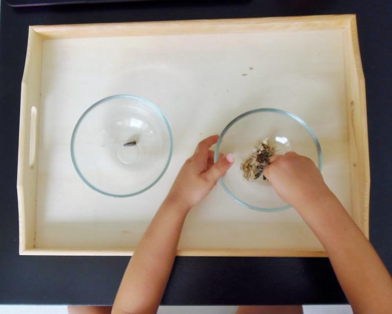 Montessori en Casa: Ciclo de vida girasol